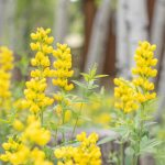 CreeksideChalets_yellow-flowers-min
